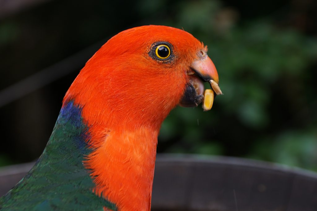 King Parrot's face
